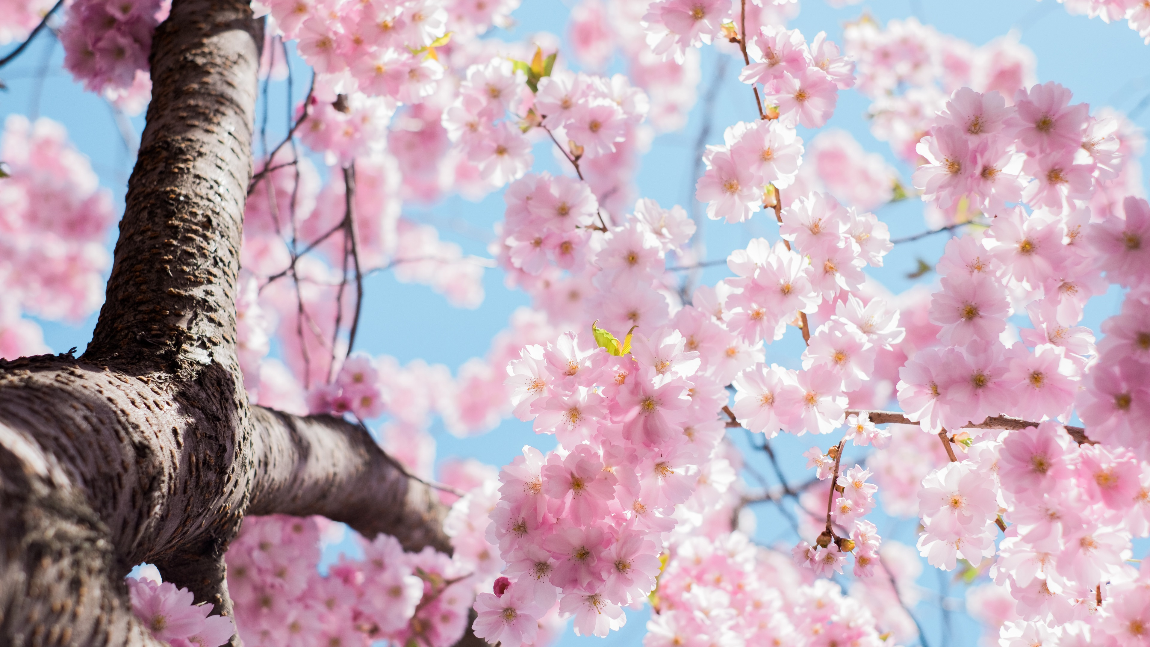 1608104968.0645Cherry-flowers-blossom-tree-twigs-spring_3840x2160.jpg